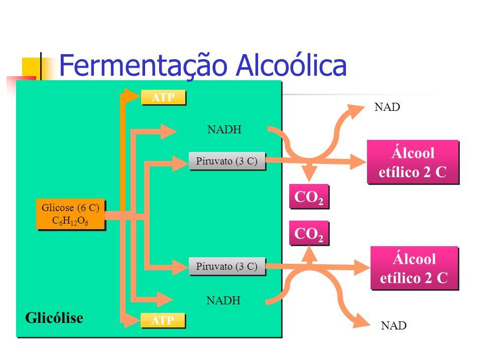 Glicólise Fermentação Alcoólica Glicose (6 C) C 6 H 12 O 6 ATP Piruvato (3 C) NADH CO 2 Álcool etílico 2 C NAD