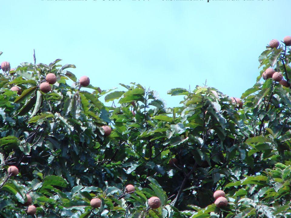 Machadinho dOeste – 2007 – castanheira plantada em 1987