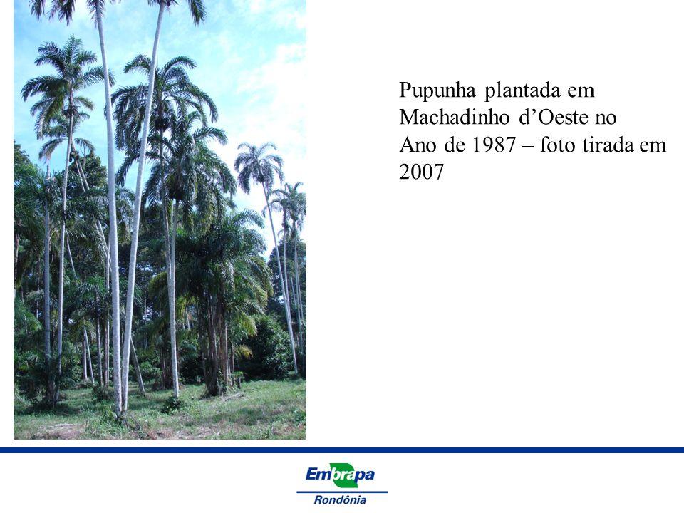 Pupunha plantada em Machadinho dOeste no Ano de 1987 – foto tirada em 2007