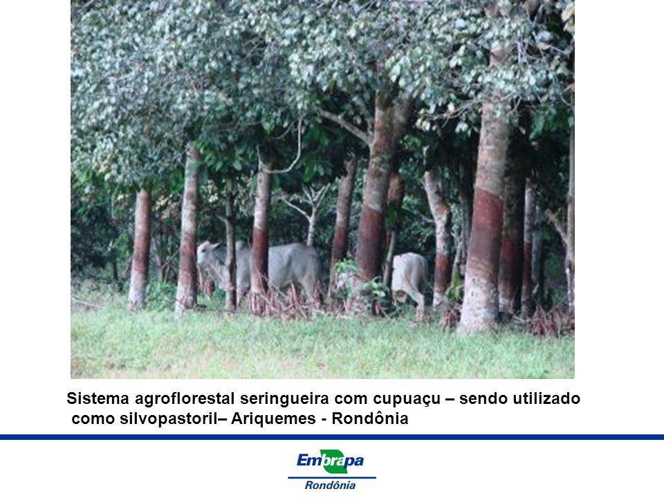 Sistema agroflorestal seringueira com cupuaçu – sendo utilizado como silvopastoril– Ariquemes - Rondônia
