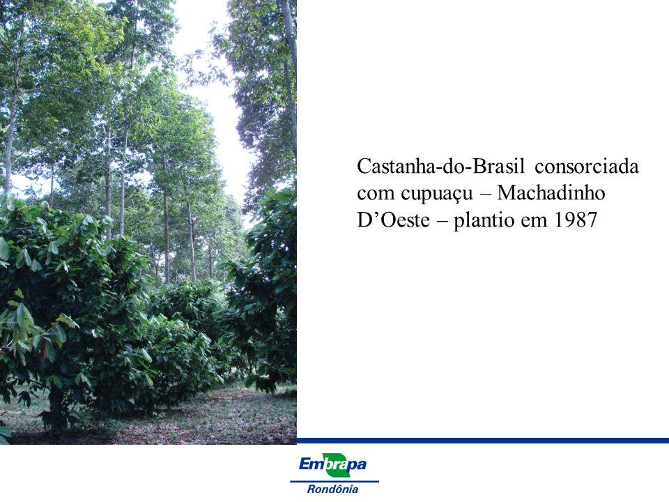Castanha-do-Brasil consorciada com cupuaçu – Machadinho DOeste – plantio em 1987