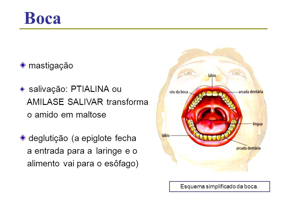 Boca mastigação salivação: PTIALINA ou AMILASE SALIVAR transforma o amido em maltose deglutição (a epiglote fecha a entrada para a laringe e o aliment