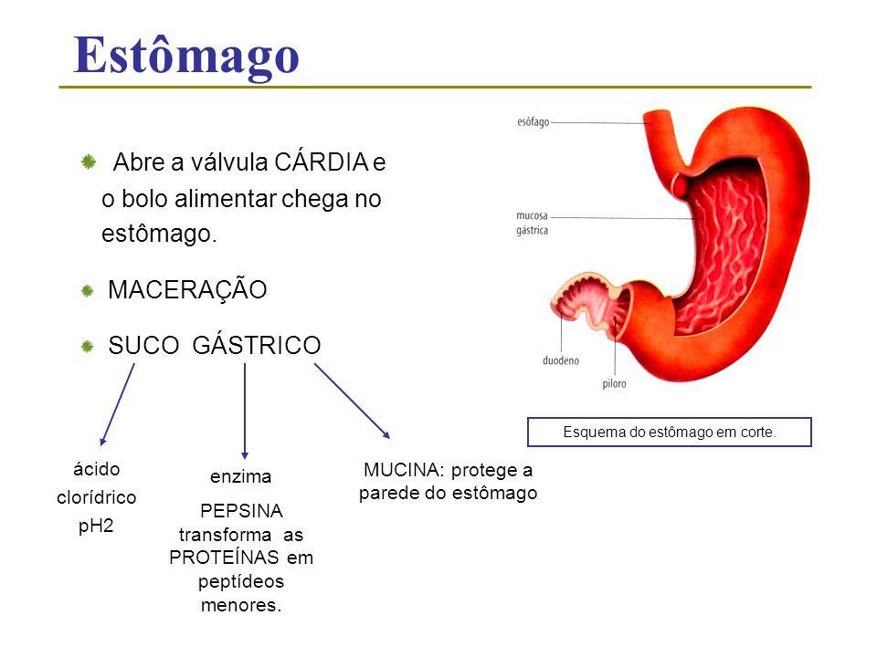 Estômago Abre a válvula CÁRDIA e o bolo alimentar chega no estômago. MACERAÇÃO SUCO GÁSTRICO Esquema do estômago em corte. ácido clorídrico pH2 enzima