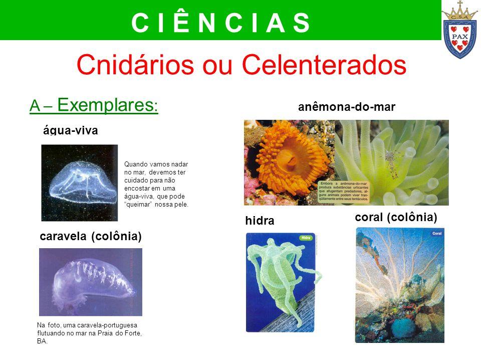 Cnidários ou Celenterados A – Exemplares : água-viva caravela (colônia) C I Ê N C I A S hidra Na foto, uma caravela-portuguesa flutuando no mar na Pra
