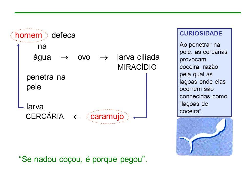 homem defeca na água ovo larva ciliada MIRACÍDIO penetra na pele larva CERCÁRIA caramujo CURIOSIDADE Ao penetrar na pele, as cercárias provocam coceir