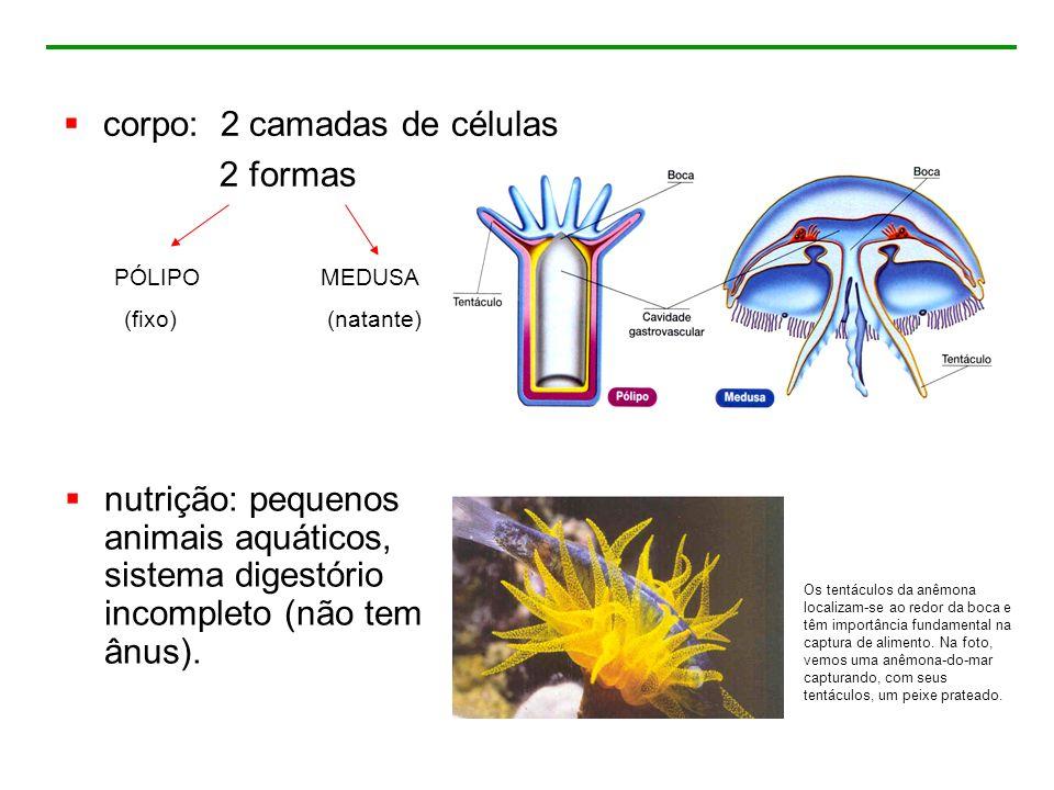 corpo: 2 camadas de células 2 formas nutrição: pequenos animais aquáticos, sistema digestório incompleto (não tem ânus). Os tentáculos da anêmona loca