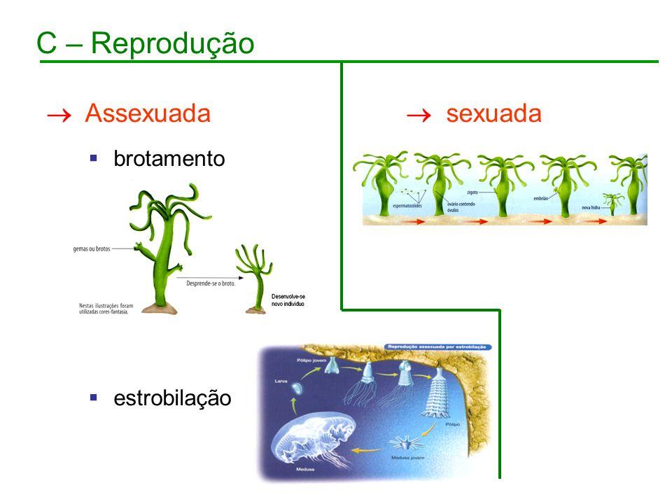 C – Reprodução Assexuada brotamento estrobilação sexuada