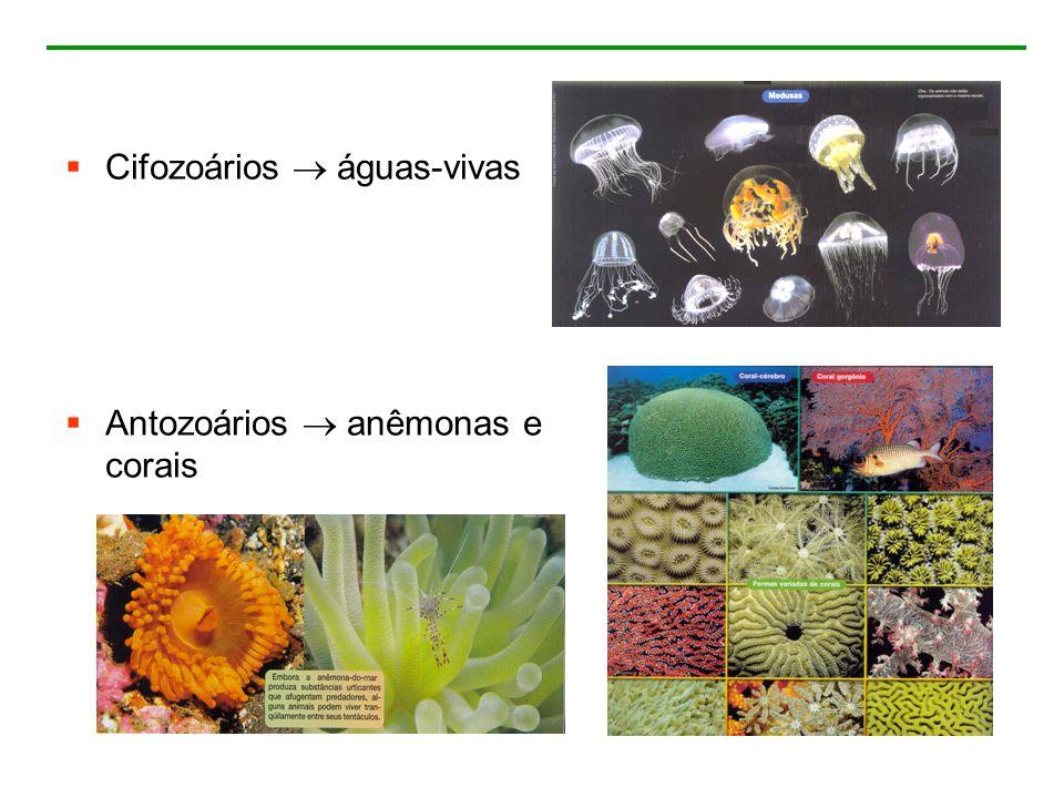 Cifozoários águas-vivas Antozoários anêmonas e corais