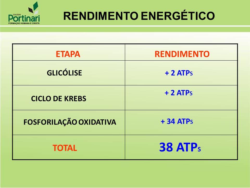 ETAPARENDIMENTO GLICÓLISE CICLO DE KREBS FOSFORILAÇÃO OXIDATIVA TOTAL + 2 ATP S + 34 ATP S 38 ATP S RENDIMENTO ENERGÉTICO