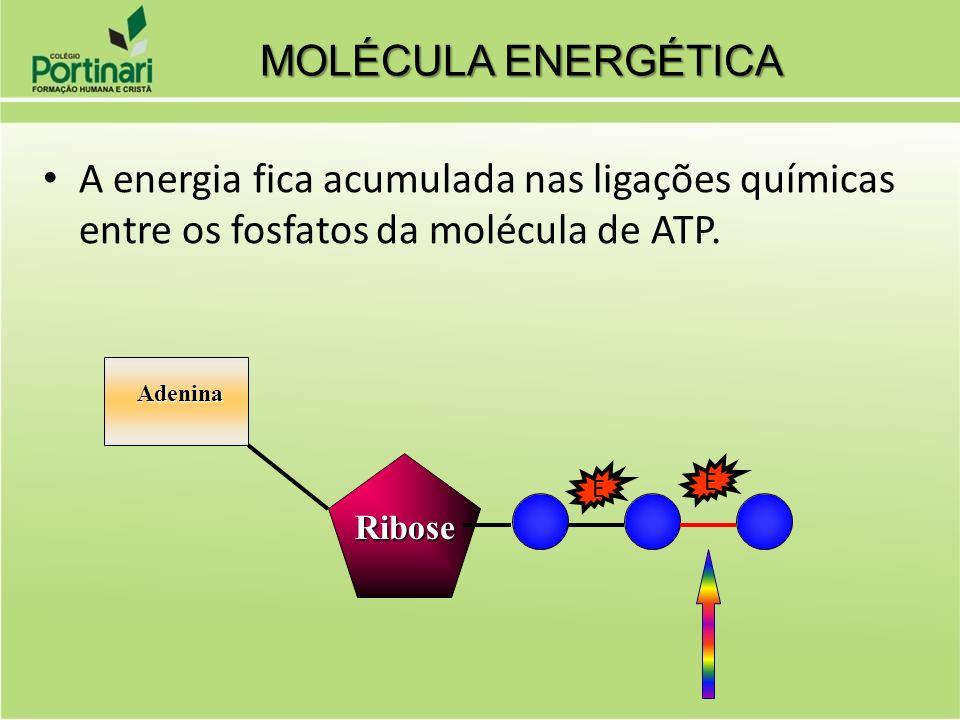 A energia fica acumulada nas ligações químicas entre os fosfatos da molécula de ATP. Adenina Adenina Ribose Ribose MOLÉCULA ENERGÉTICA E E