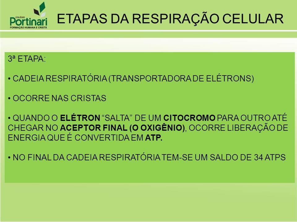 ETAPAS DA RESPIRAÇÃO CELULAR 3ª ETAPA: CADEIA RESPIRATÓRIA (TRANSPORTADORA DE ELÉTRONS) OCORRE NAS CRISTAS QUANDO O ELÉTRON SALTA DE UM CITOCROMO PARA