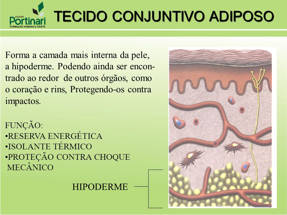 Forma a camada mais interna da pele, a hipoderme. Podendo ainda ser encon- trado ao redor de outros órgãos, como o coração e rins, Protegendo-os contr
