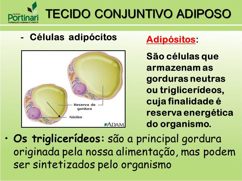 -Células adipócitos Adipósitos: São células que armazenam as gorduras neutras ou triglicerídeos, cuja finalidade é reserva energética do organismo. Os