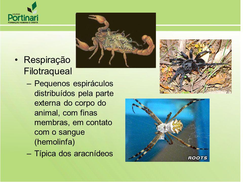 Respiração Filotraqueal –Pequenos espiráculos distribuídos pela parte externa do corpo do animal, com finas membras, em contato com o sangue (hemolinf