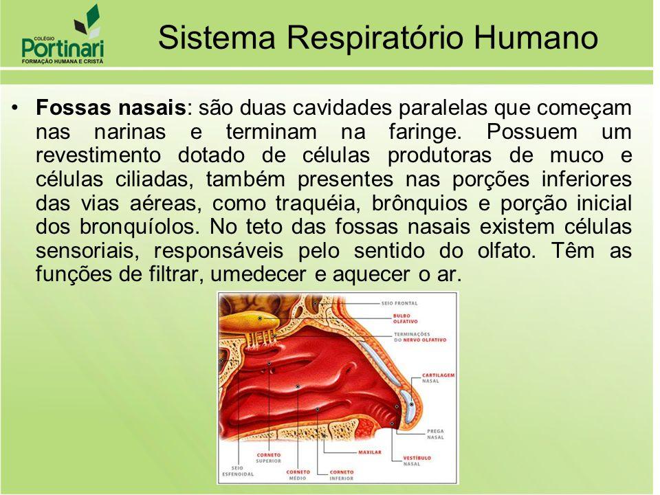 Sistema Respiratório Humano Fossas nasais: são duas cavidades paralelas que começam nas narinas e terminam na faringe. Possuem um revestimento dotado