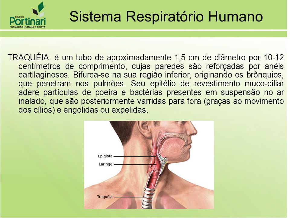 Respiração cutânea –Trocas gasosas pela pele –A pele tem que estar úmida –Geralmente uma respiração complementar –Respiração típica em anfíbios
