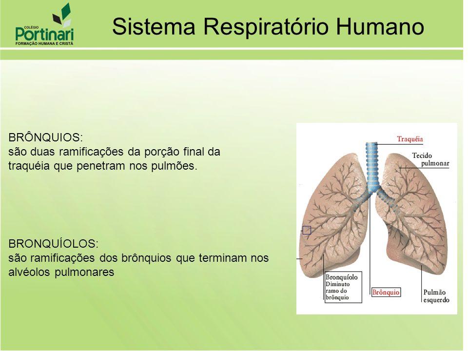 ALVÉOLOS: Bolsas de ar ricamente vascularizadas onde ocorre a hematose (transformação do sangue venoso em sangue arterial) Sistema Respiratório Humano