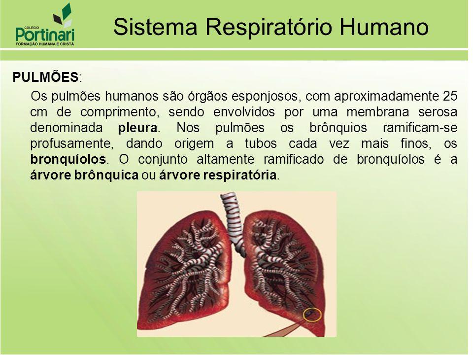 PULMÕES: Os pulmões humanos são órgãos esponjosos, com aproximadamente 25 cm de comprimento, sendo envolvidos por uma membrana serosa denominada pleur