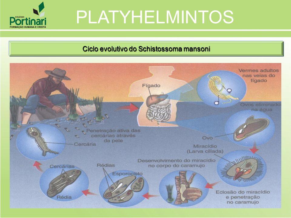 Ciclo evolutivo do Schistossoma mansoni PLATYHELMINTOS