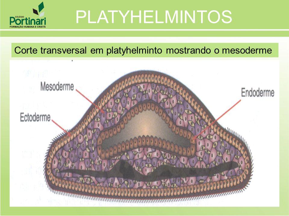 Corte transversal em platyhelminto mostrando o mesoderme