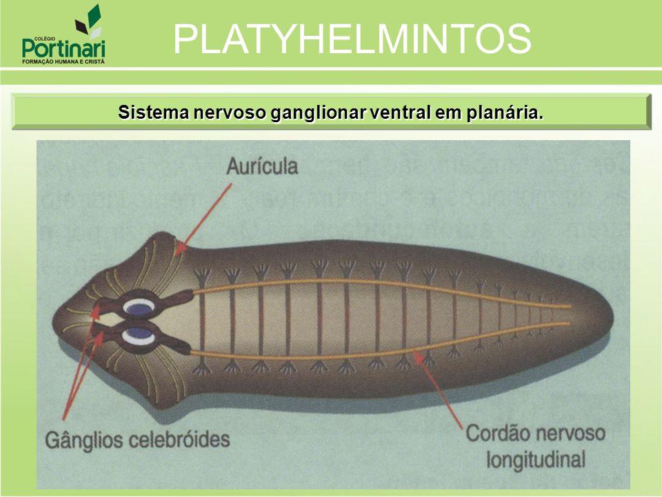 Sistema nervoso ganglionar ventral em planária. PLATYHELMINTOS