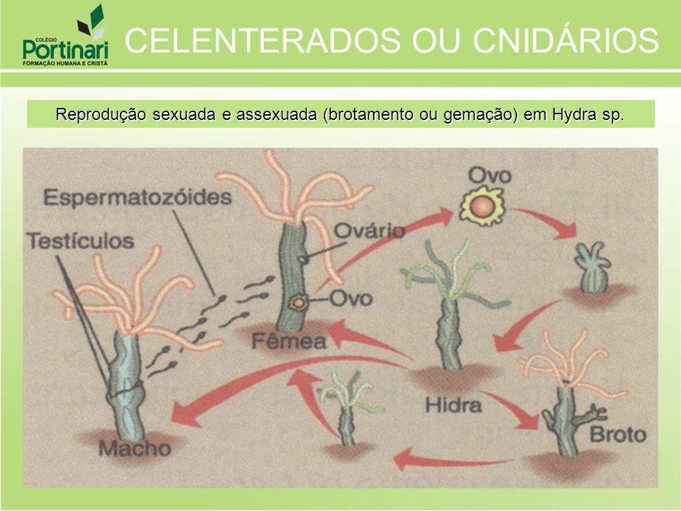 CELENTERADOS OU CNIDÁRIOS Reprodução sexuada e assexuada (brotamento ou gemação) em Hydra sp.