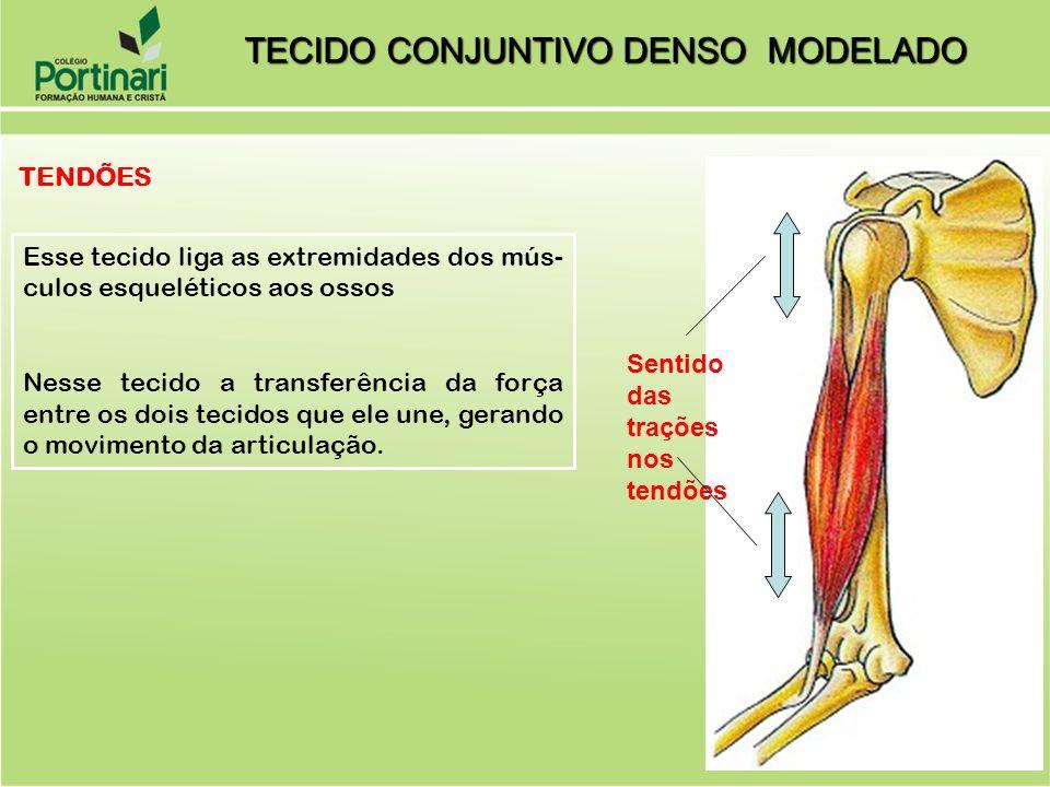 TENDÕES Sentido das trações nos tendões Esse tecido liga as extremidades dos mús- culos esqueléticos aos ossos Nesse tecido a transferência da força entre os dois tecidos que ele une, gerando o movimento da articulação.