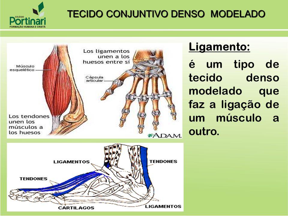 Ligamento: é um tipo de tecido denso modelado que faz a ligação de um músculo a outro. TECIDO CONJUNTIVO DENSO MODELADO