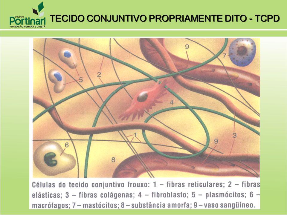 1) FIBROBLASTO: produção de fibras protéicas (colágeno e elastina) e substâncias intercelular.