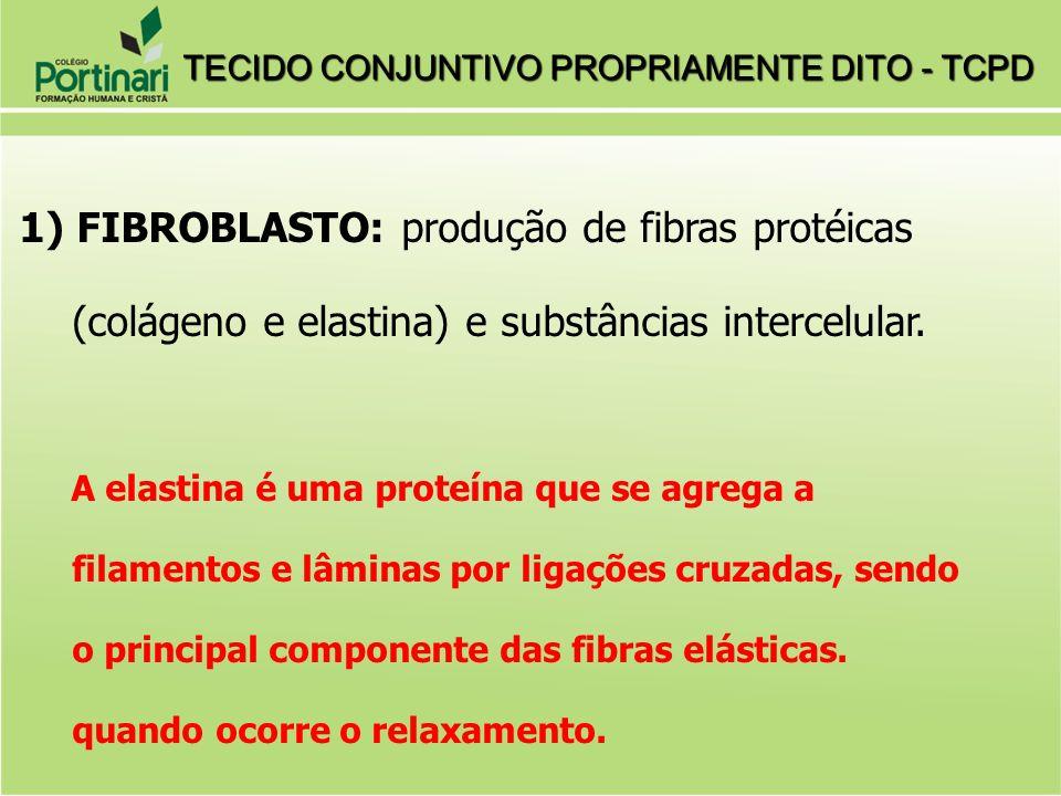 1) FIBROBLASTO: produção de fibras protéicas (colágeno e elastina) e substâncias intercelular. A elastina é uma proteína que se agrega a filamentos e