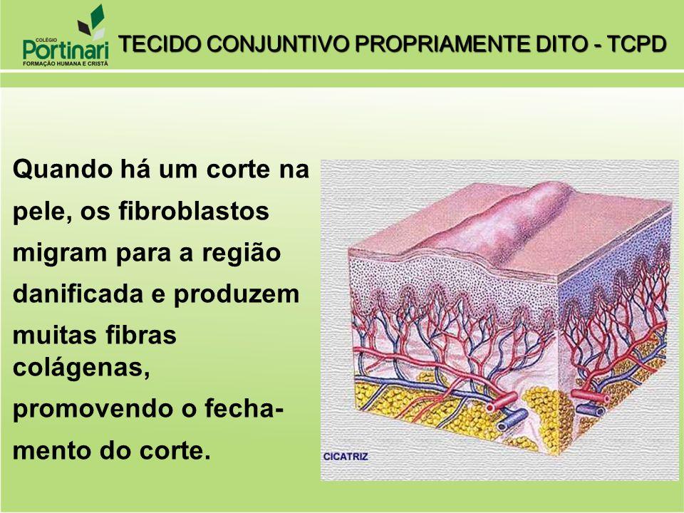 2) ADIPÓCITOS: armazenam lipídios no tecido conjuntivo frouxo.