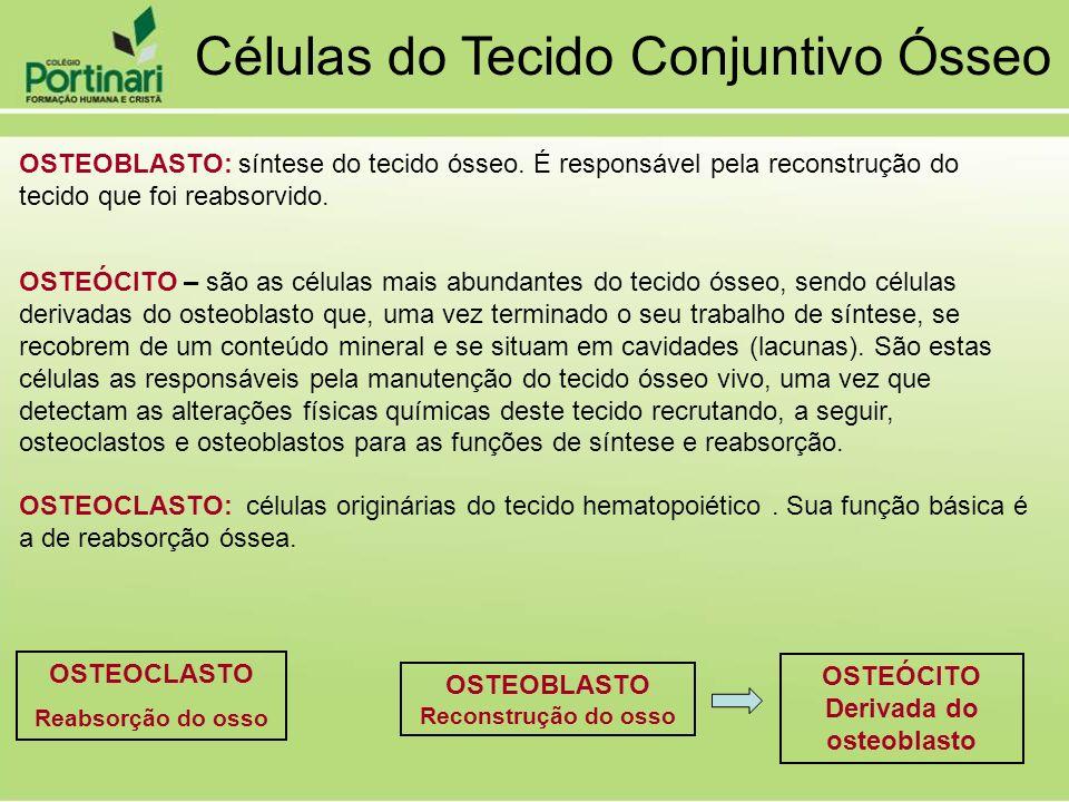 OSTEOBLASTO: síntese do tecido ósseo. É responsável pela reconstrução do tecido que foi reabsorvido. OSTEOCLASTO: células originárias do tecido hemato