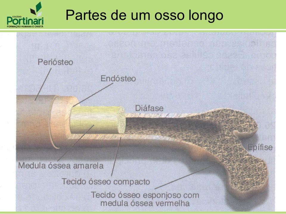 Partes de um osso longo