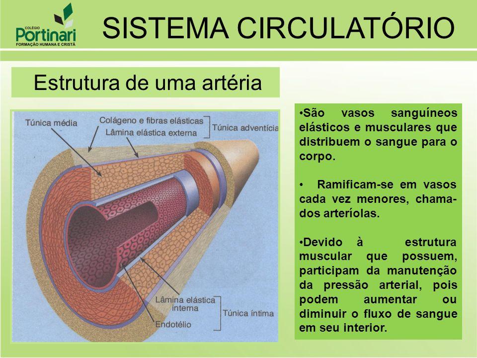SISTEMA CIRCULATÓRIO Estrutura de uma artéria São vasos sanguíneos elásticos e musculares que distribuem o sangue para o corpo. Ramificam-se em vasos