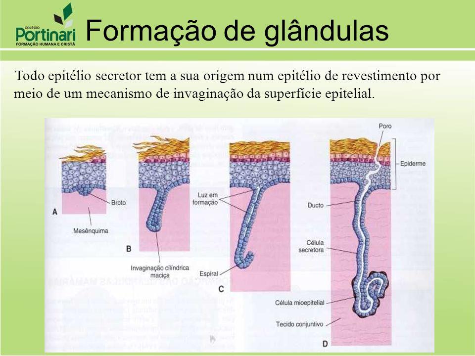 Formação de glândulas Todo epitélio secretor tem a sua origem num epitélio de revestimento por meio de um mecanismo de invaginação da superfície epite