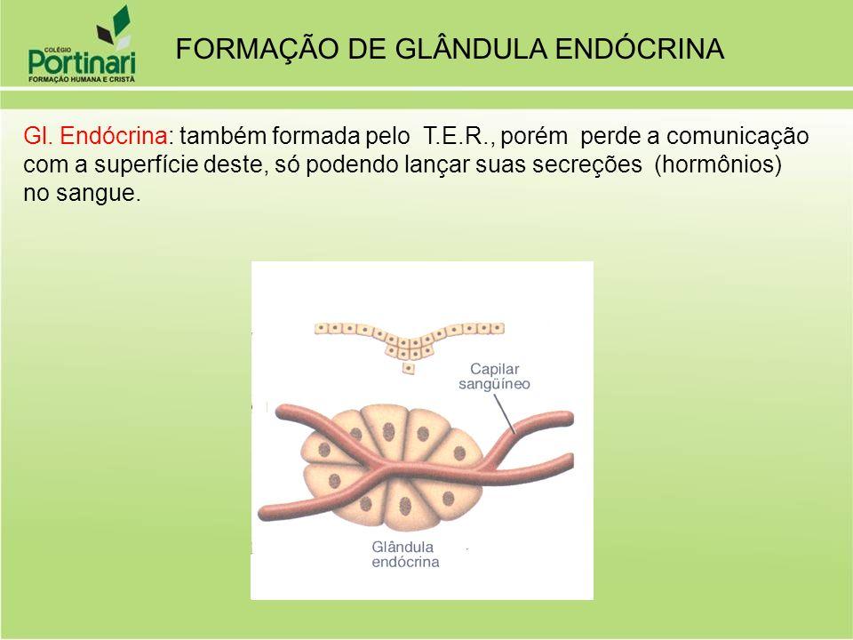 Gl. Endócrina: também formada pelo T.E.R., porém perde a comunicação com a superfície deste, só podendo lançar suas secreções (hormônios) no sangue. F