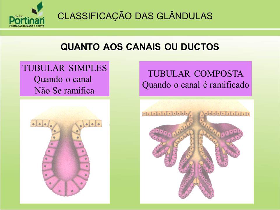 QUANTO AOS CANAIS OU DUCTOS TUBULAR SIMPLES Quando o canal Não Se ramifica TUBULAR COMPOSTA Quando o canal é ramificado CLASSIFICAÇÃO DAS GLÂNDULAS