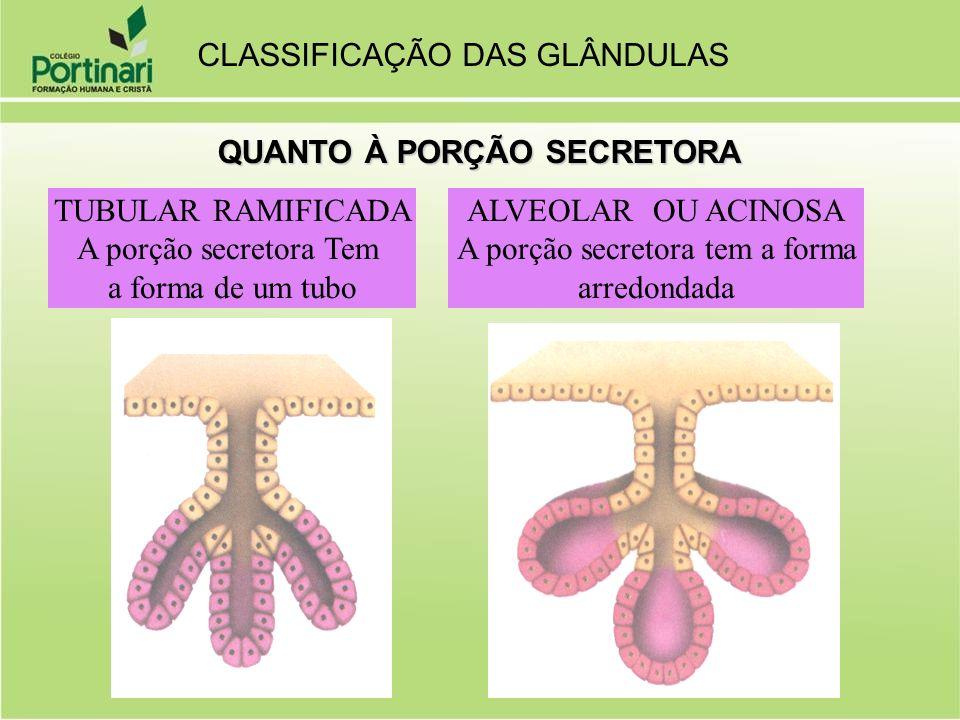 QUANTO À PORÇÃO SECRETORA TUBULAR RAMIFICADA A porção secretora Tem a forma de um tubo ALVEOLAR OU ACINOSA A porção secretora tem a forma arredondada