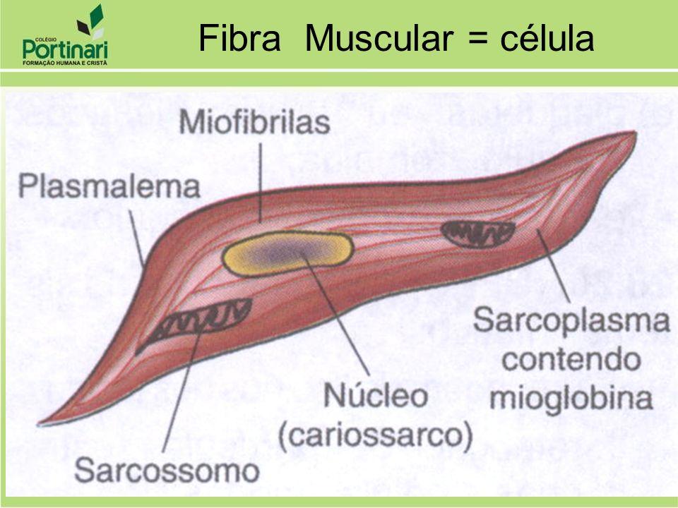 Revestimento do Tecido Muscular Epimísio: reveste o músculo todo Endomísio: reveste a fibra muscular Perimísio: reveste o feixe de fibras