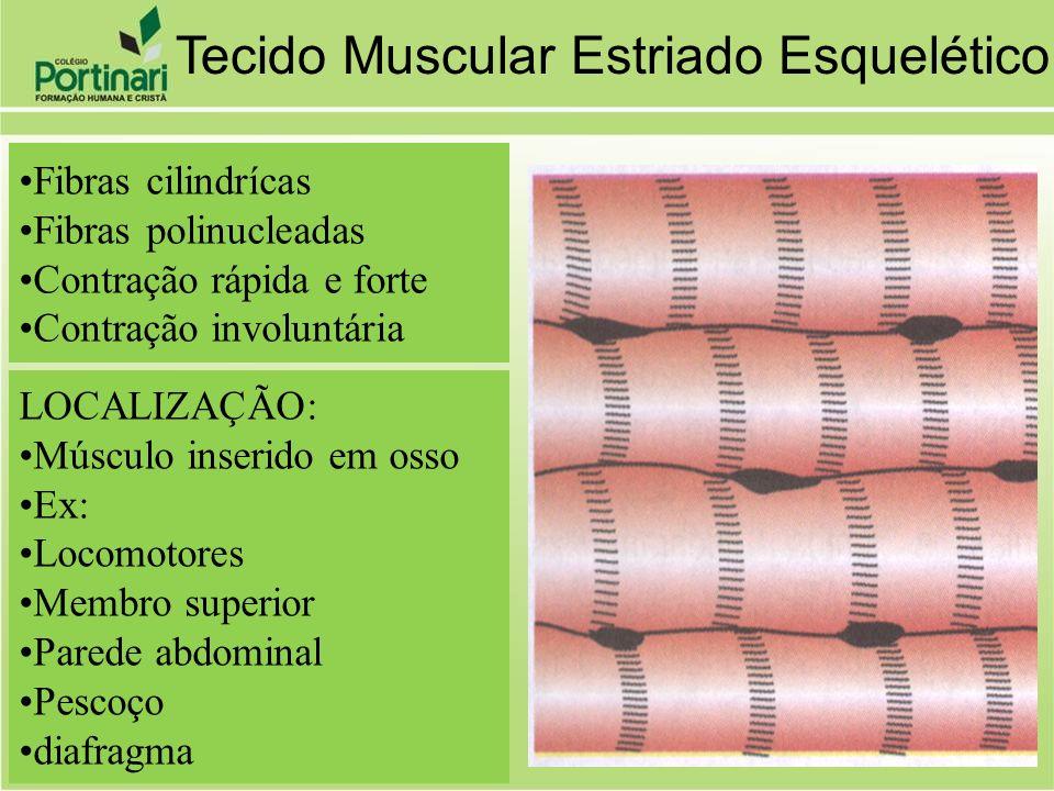 Fibras cilindrícas Fibras polinucleadas Contração rápida e forte Contração involuntária LOCALIZAÇÃO: Músculo inserido em osso Ex: Locomotores Membro s