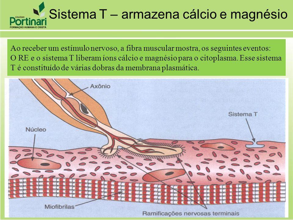 Ao receber um estímulo nervoso, a fibra muscular mostra, os seguintes eventos: O RE e o sistema T liberam íons cálcio e magnésio para o citoplasma. Es