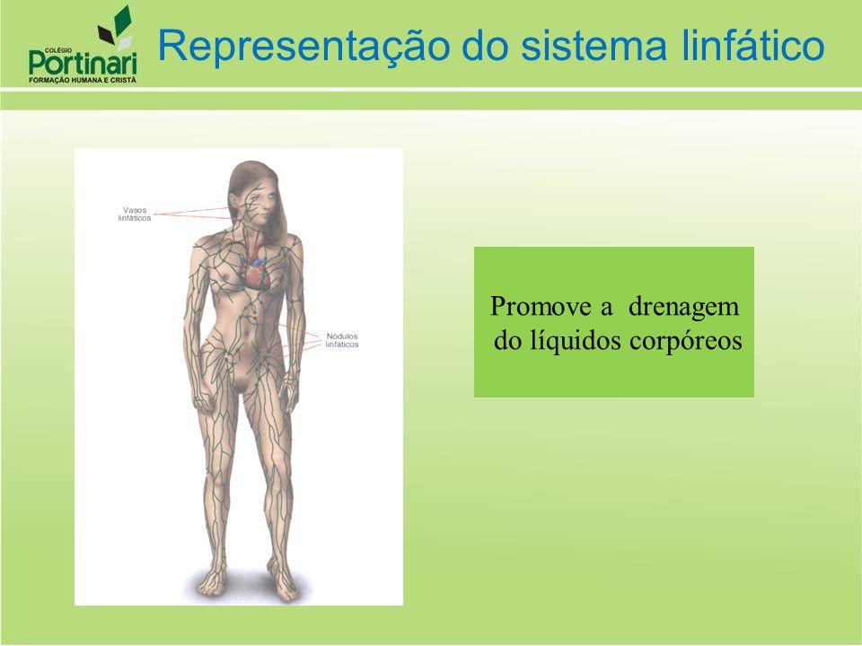 Promove a drenagem do líquidos corpóreos Representação do sistema linfático
