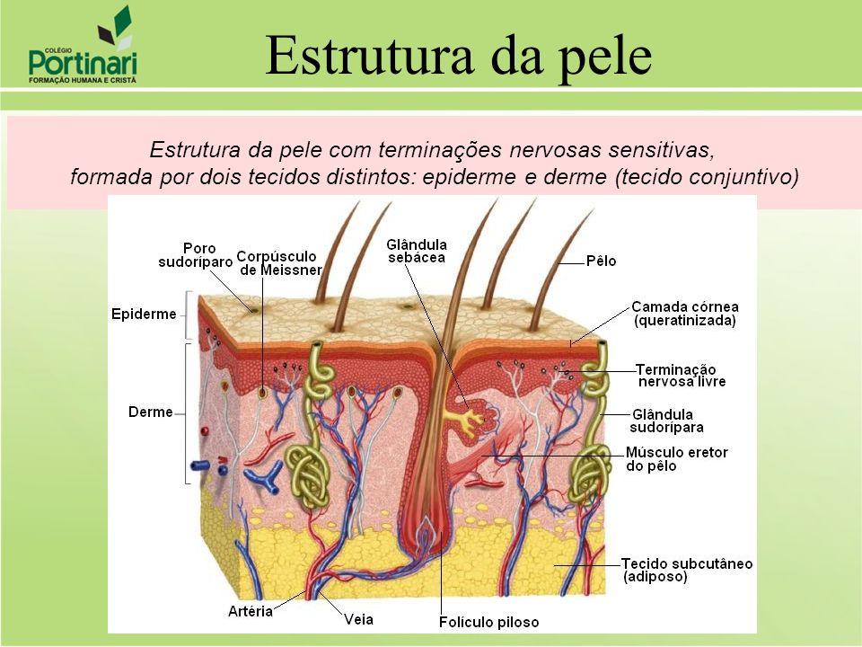 Estrutura da pele com terminações nervosas sensitivas, formada por dois tecidos distintos: epiderme e derme (tecido conjuntivo) Estrutura da pele