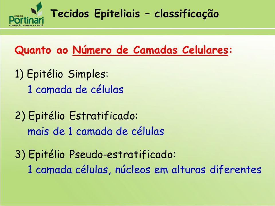 Quanto ao Número de Camadas Celulares: 1) Epitélio Simples: 1 camada de células 2) Epitélio Estratificado: mais de 1 camada de células 3) Epitélio Pse