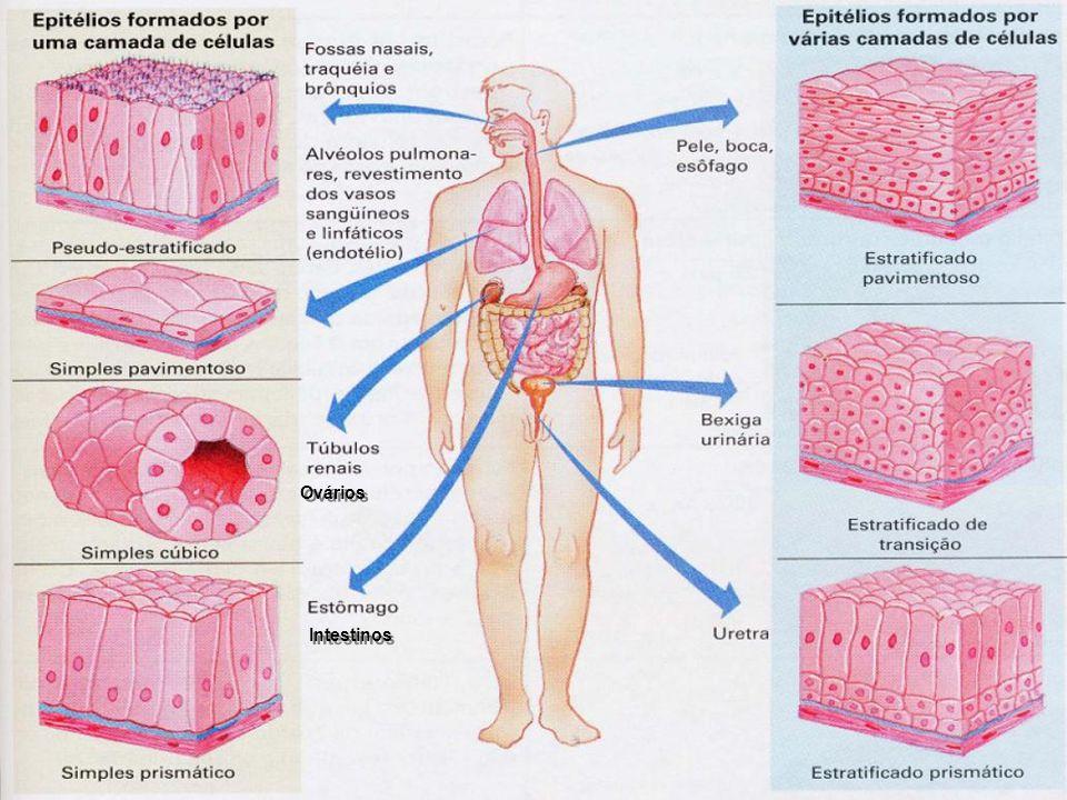 Intestinos Ovários