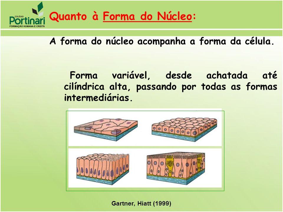 Quanto à Forma do Núcleo: A forma do núcleo acompanha a forma da célula. Forma variável, desde achatada até cilíndrica alta, passando por todas as for