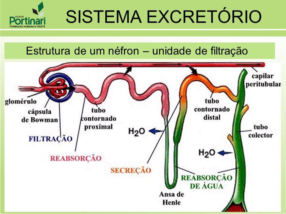 SISTEMA EXCRETÓRIO Estrutura de um néfron – unidade de filtração