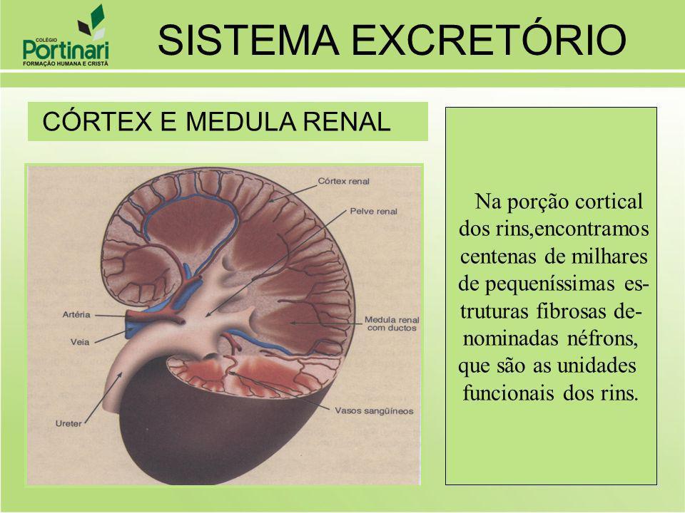 São 2 (1 par) que saem dos rins pela pelve renal e caminham para a bexiga urinária URETERES: CONDUZEM A URINA ATÉ A BEXIGA SISTEMA EXCRETÓRIO