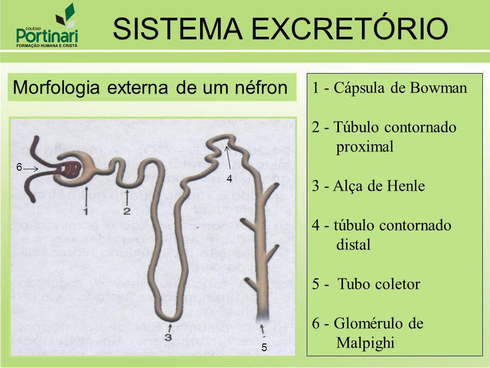 O sangue entra no glomérulo sob alta pressão e parte do plasma passa para o interior do tubo do néfron: é a filtração glomerular.