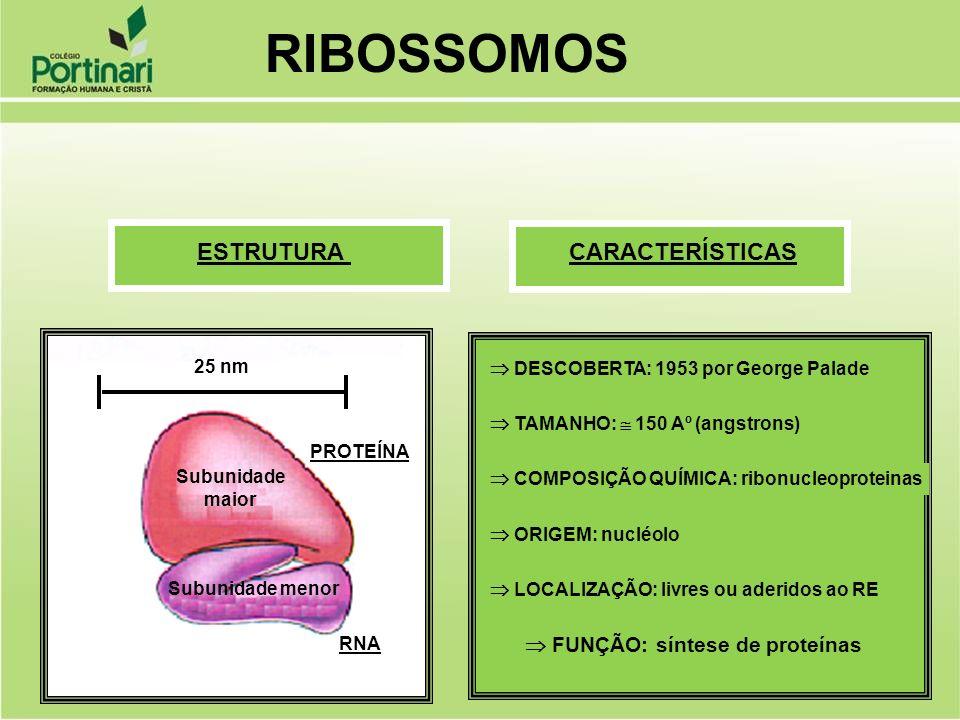 DESCOBERTA: 1953 por George Palade TAMANHO: 150 Aº (angstrons) COMPOSIÇÃO QUÍMICA: ribonucleoproteinas ORIGEM: nucléolo LOCALIZAÇÃO: livres ou aderido